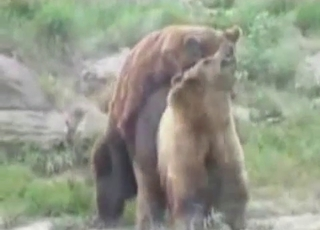 Bear with us, it's a bear fucking video