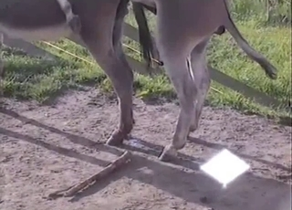 Impressive horse penis of a pretty passionate animal