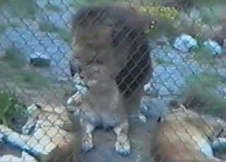Lioness is getting nicely impaled from behind